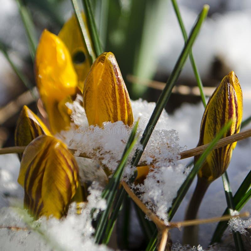 Wielkanocni tulipany Wyłania się Przez Świeżego wiosna śniegu fotografia royalty free