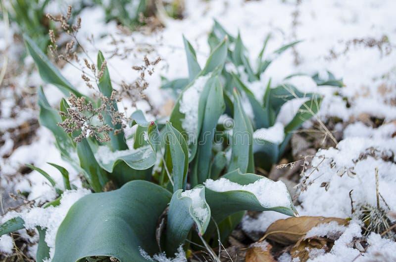 Wielkanocni tulipany Wyłania się Przez Świeżego wiosna śniegu fotografia stock