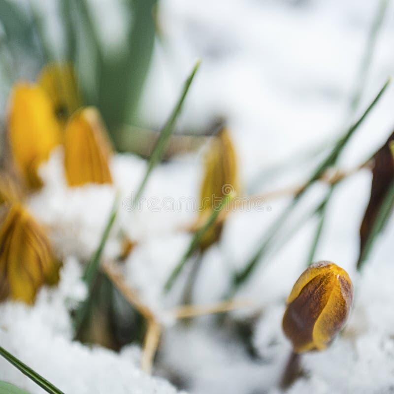 Wielkanocni tulipany Wyłania się Przez Świeżego wiosna śniegu zdjęcia royalty free