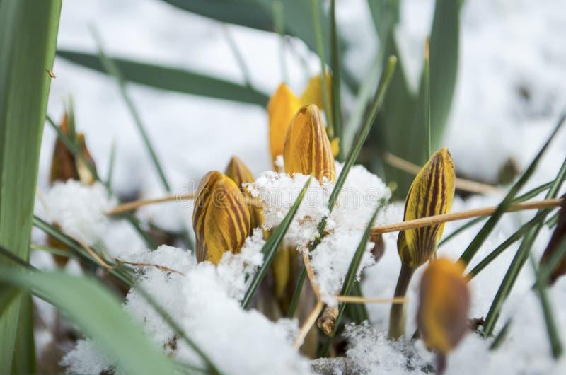 Wielkanocni tulipany Wyłania się Przez Świeżego wiosna śniegu obraz stock
