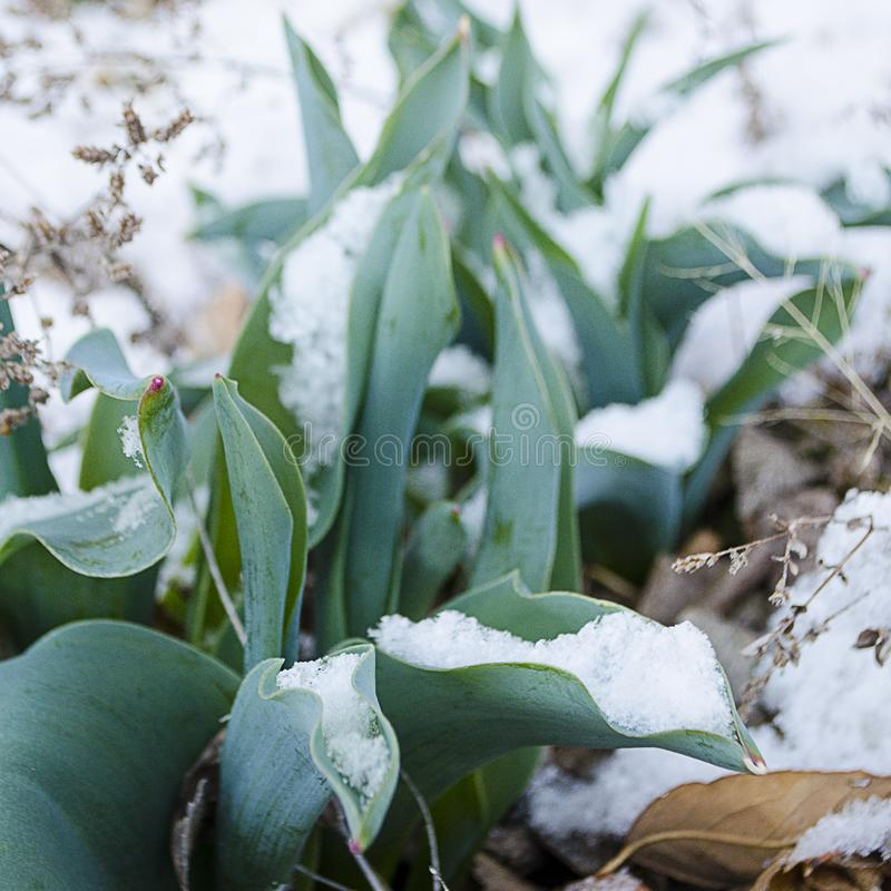 Wielkanocni tulipany Wyłania się Przez Świeżego wiosna śniegu zdjęcia stock