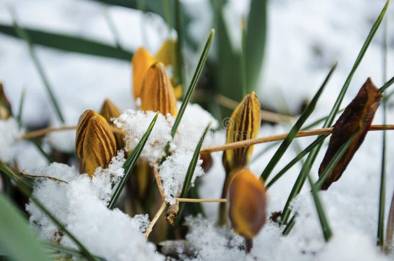 Wielkanocni tulipany Wyłania się Przez Świeżego wiosna śniegu obrazy stock
