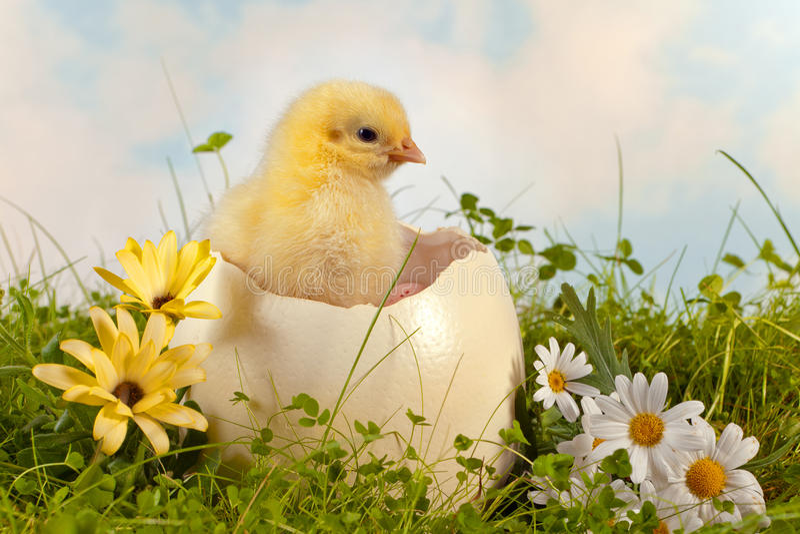 Wielkanocny kurczątko w ogródzie obraz royalty free