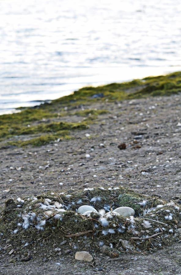 Wielki łabędź gniazdeczko, jajka siedzi obok jeziornego tła i obrazy royalty free