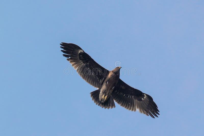 Wielki Łaciasty Eagle obrazy stock