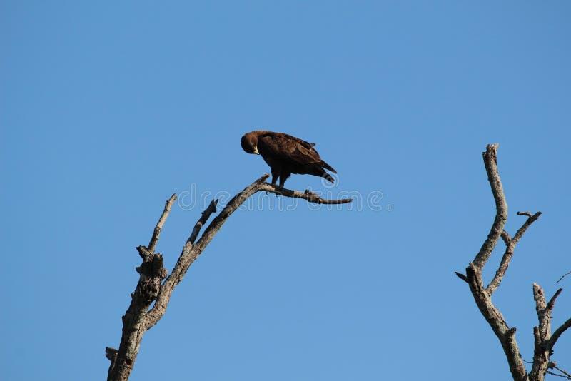 Wielki Łaciasty Eagle Przygotowywać obraz stock