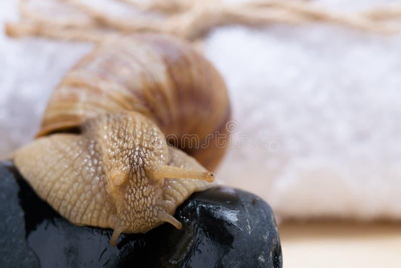 Wielki ślimaczek wolno skrada się na czarnych kamieniach, naturalny tło fotografia royalty free