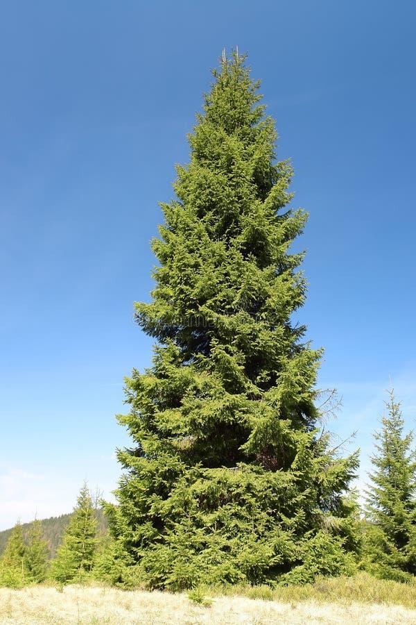 wielki świerkowy drzewo zdjęcie stock