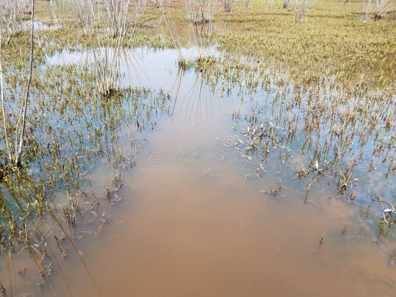 Wielki żółw zanurzał w błotnistej wodzie z roślinami w bagna terenie zdjęcie stock