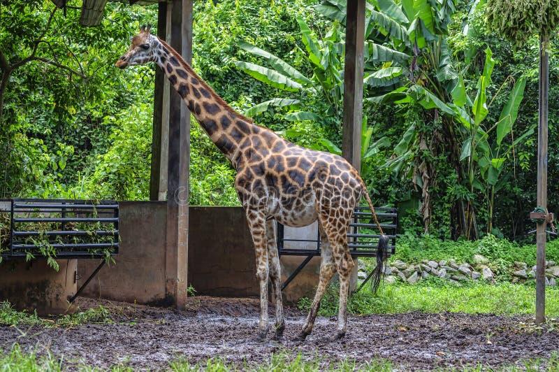 Wielki żyrafa byk zdjęcia royalty free