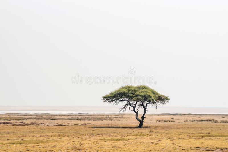 Wielki Akacjowy drzewo w otwartych sawannowych równinach Etosha park narodowy fotografia stock