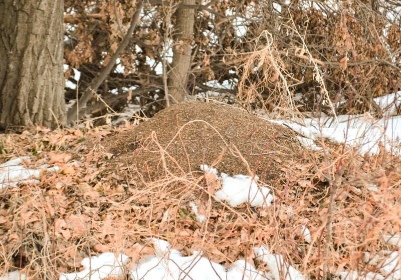 Wielki anthill w lesie, zakrywającym z liśćmi i śniegiem w wczesnej wiośnie zdjęcia stock