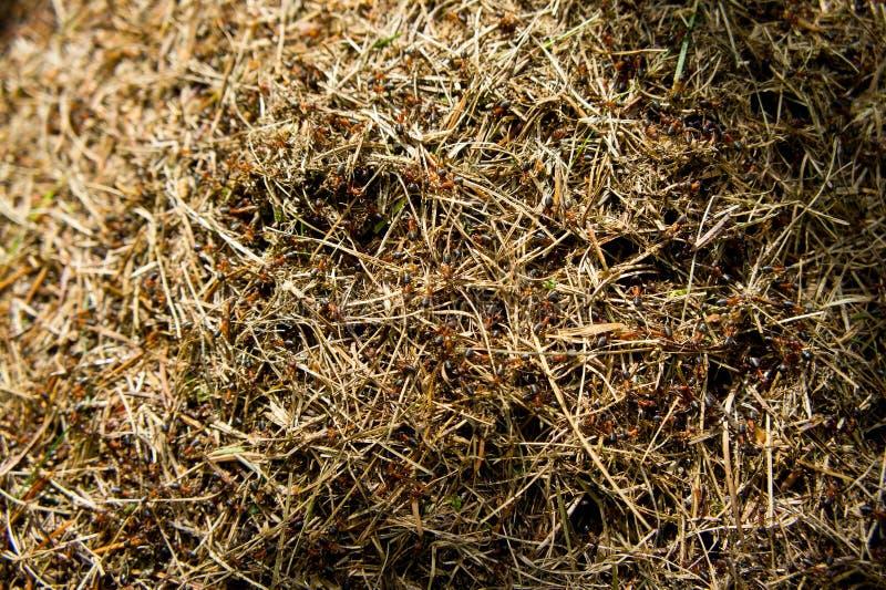 Wielki anthill z mrówkami w wiośnie strzelał zakończenie obrazy royalty free
