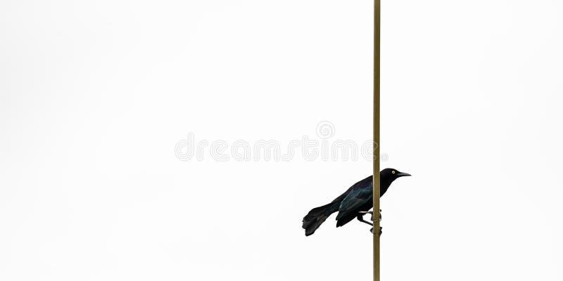 WIELKI ANTILLEAN GRACKLE czerni ptak W TRINIDAD I TOBAGO obrazy stock