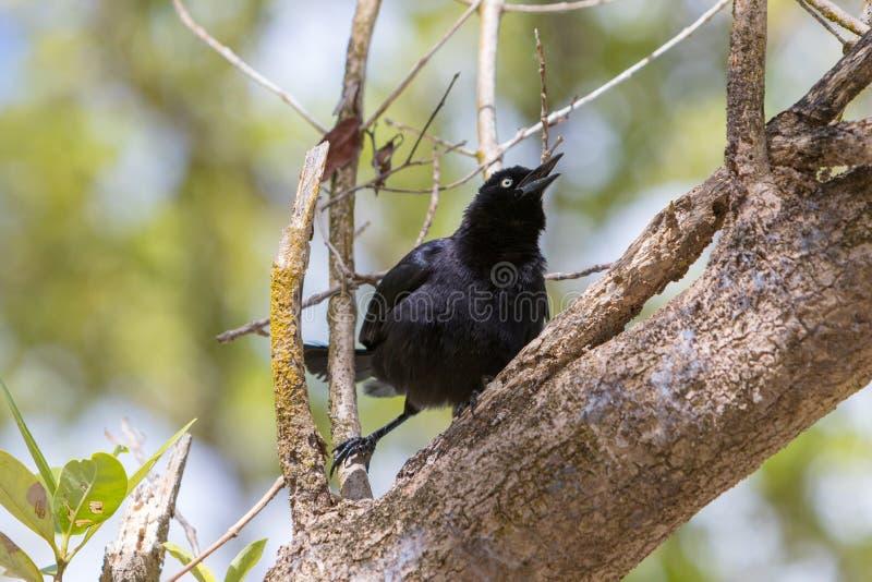 Wielki Antillean grackle - Quiscalus Niger obrazy stock