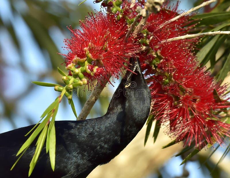 Wielki Antillean grackle (Quiscalus Niger) obraz stock