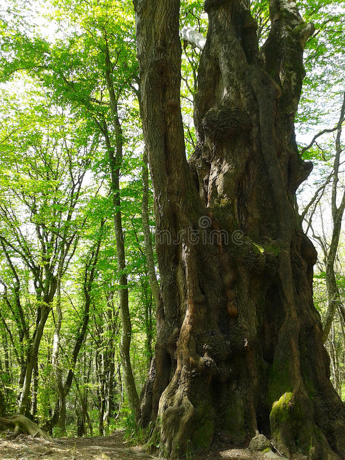 Wielki antyczny drzewo w wiosna lesie zdjęcia stock