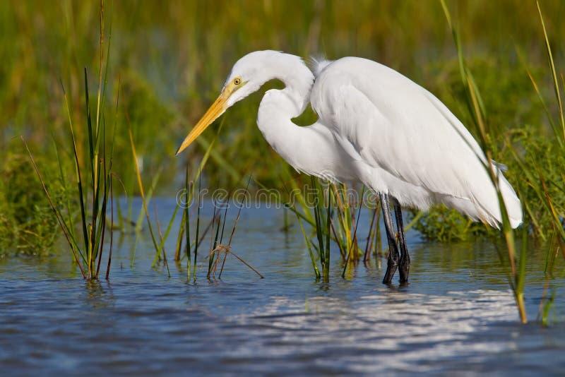 wielki ardea Alba egret obrazy stock