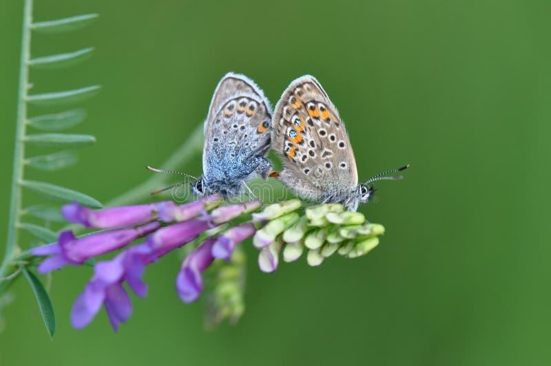 Wielki Błękitny Motyli mieć płeć zdjęcie stock
