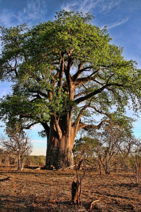 Wielki baobab, Wiktoria spadki, Zimbabwe fotografia royalty free