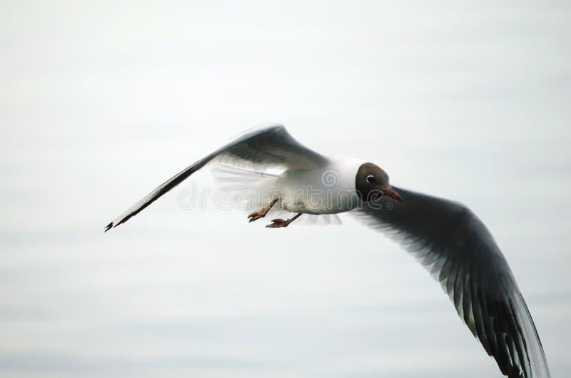 Wielki biały seagull lata w niebie zdjęcia royalty free