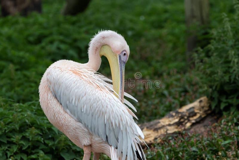 Wielki białego pelikana Pelecanus onocrotalus obrazy royalty free