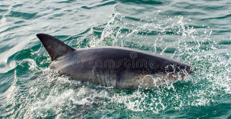 Wielki białego rekinu Carcharodon carcharias w ocean wodzie obrazy stock