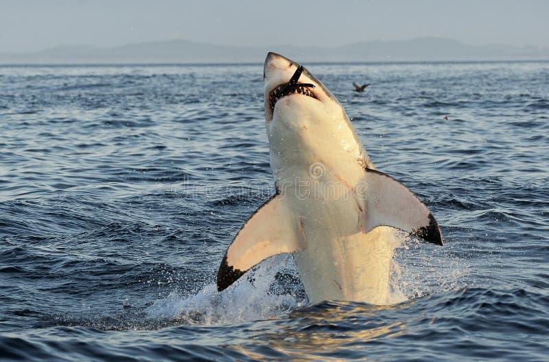 Wielki białego rekinu naruszać zdjęcia stock