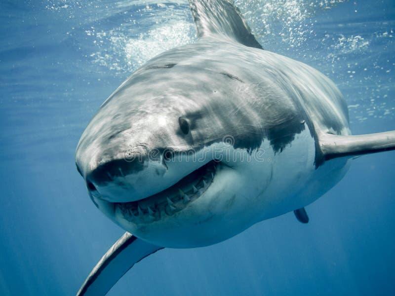 Wielki białego rekinu uśmiech obraz stock