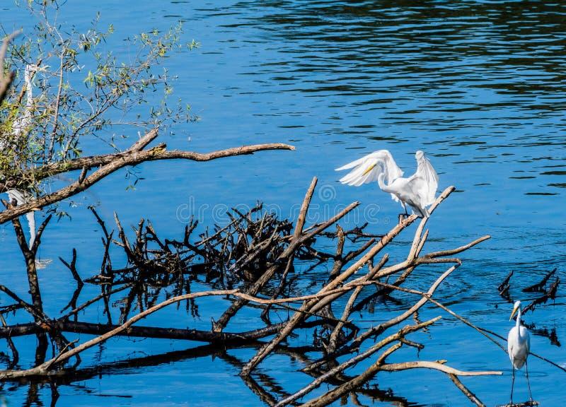 Wielki biały egret lądowanie na gałąź dryftowy drewno obraz stock