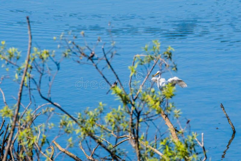 Wielki biały egret ląduje stos dryftowy drewno zdjęcie royalty free