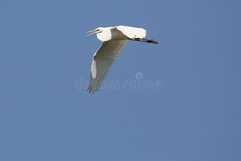Wielki biały egret latanie z swój rachunkiem otwartym w Gruzja obrazy stock