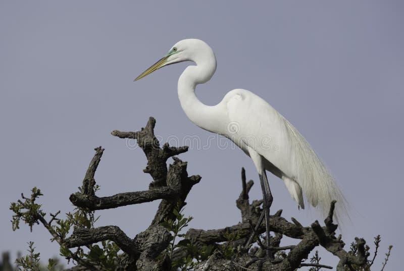 Wielki Biały Egret na drzewo wierzchołku obrazy stock