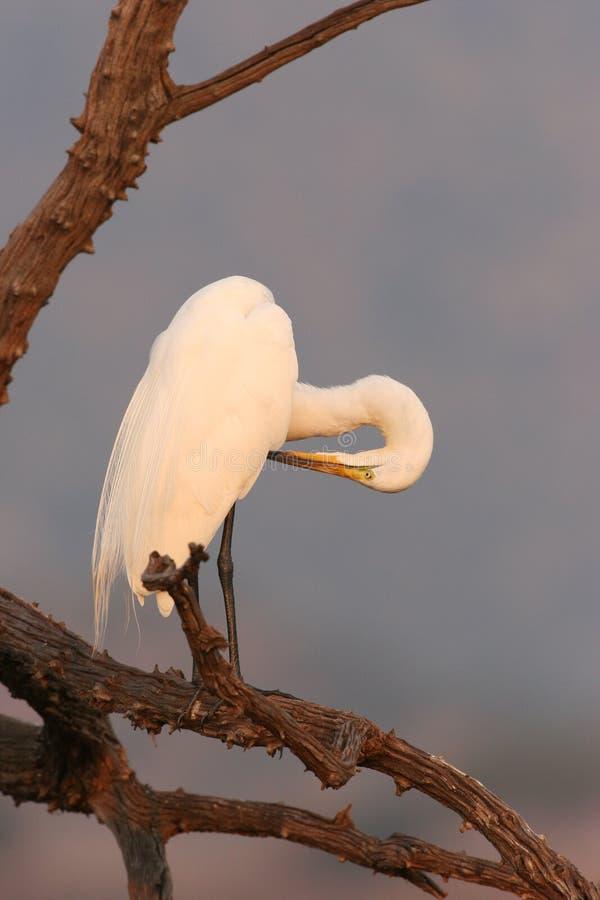 Wielki (Biały) Egret przygotowywa w drzewie obraz royalty free
