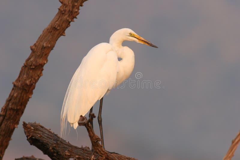 Wielki (Biały) Egret w drzewie zdjęcia stock