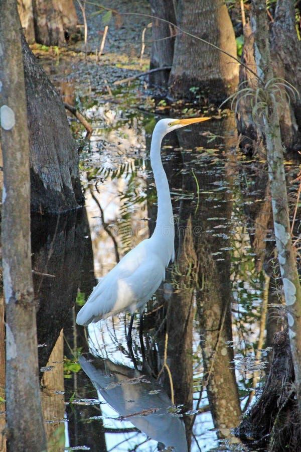 Wielki Biały Egret w leniejącym obrazy royalty free