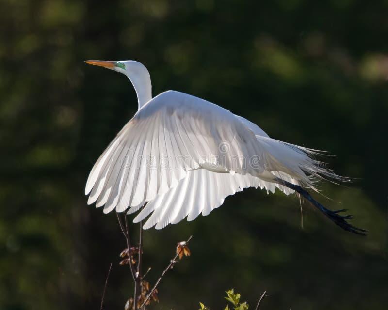 Wielki biały egret w locie zdjęcia royalty free