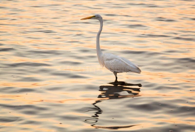 Wielki biały egret w morzu z Tampa w zatoce fotografia royalty free