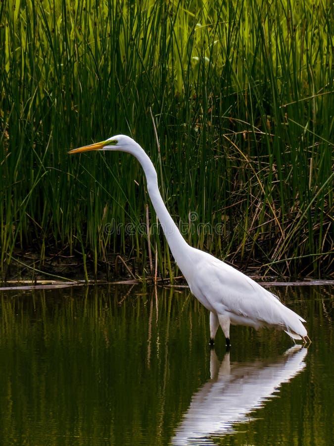 Wielki Biały Egret Watuje w stawie zdjęcia royalty free