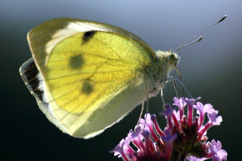 wielki biały motyl obrazy stock