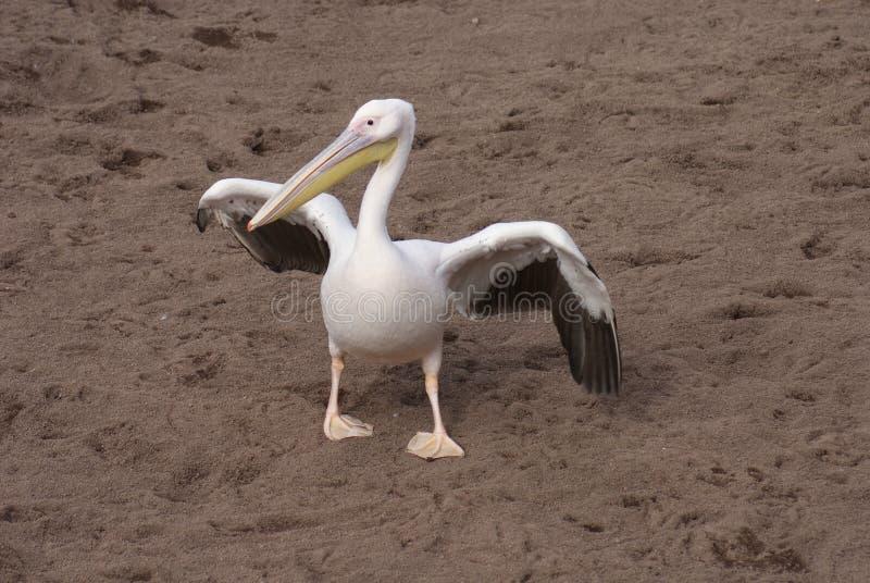 Wielki Biały pelikan - Pelecanus onocrotalus fotografia royalty free