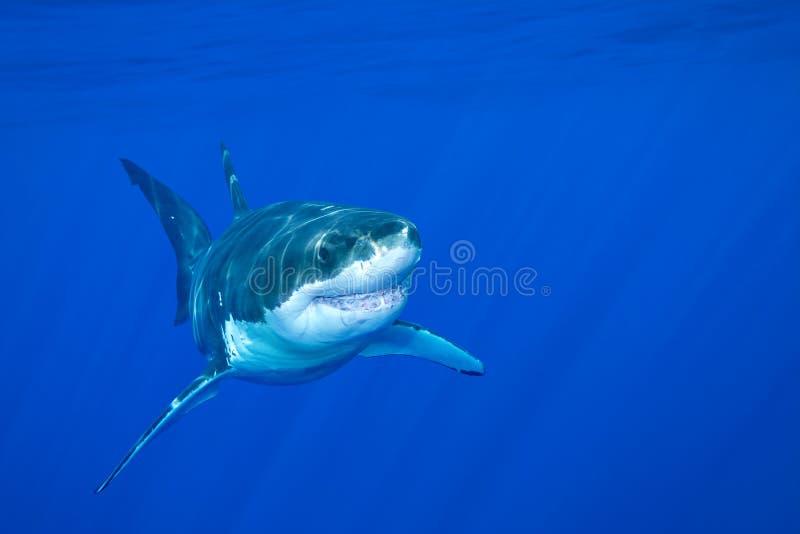 Wielki biały rekin zdjęcia royalty free