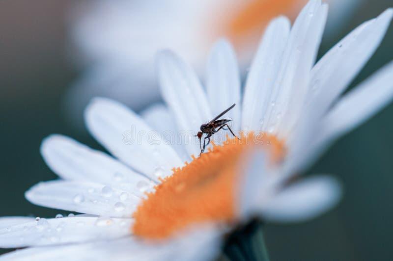 Wielki bia?y zamazany Leucanthemum maksimum kwitnie w wio?nie z komarem i raindrops zdjęcia stock