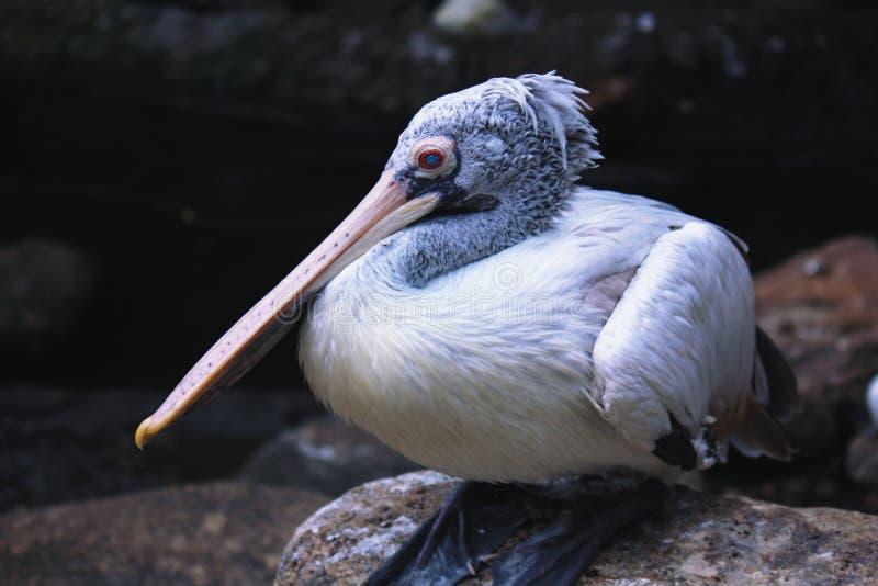 Wielki bia?y pelikan zdjęcie stock