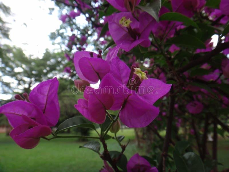 Wielki bougainvillea zdjęcie royalty free