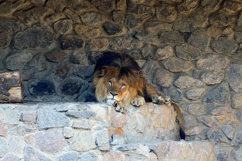 Wielki brown lew kłama na kamieniach blisko ściany fotografia stock