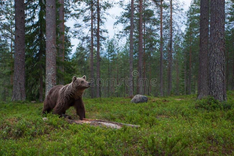 Wielki Brown niedźwiedź obwąchuje w tajga lesie obrazy royalty free