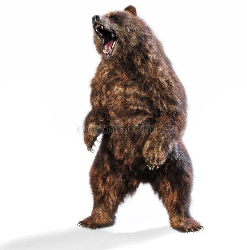 Wielki brown niedźwiedź stoi w agresywnej posturze na odosobnionym białym tle royalty ilustracja