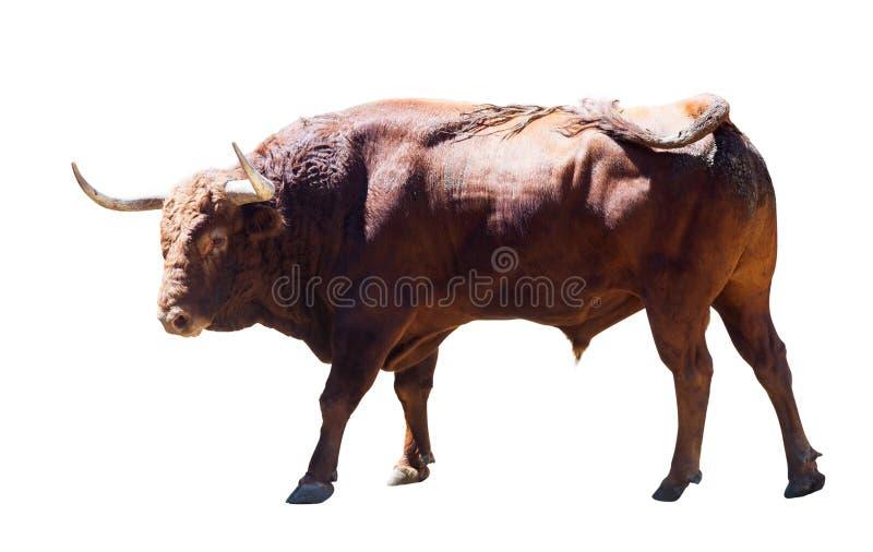 Wielki byk, odizolowywający nad bielem fotografia royalty free