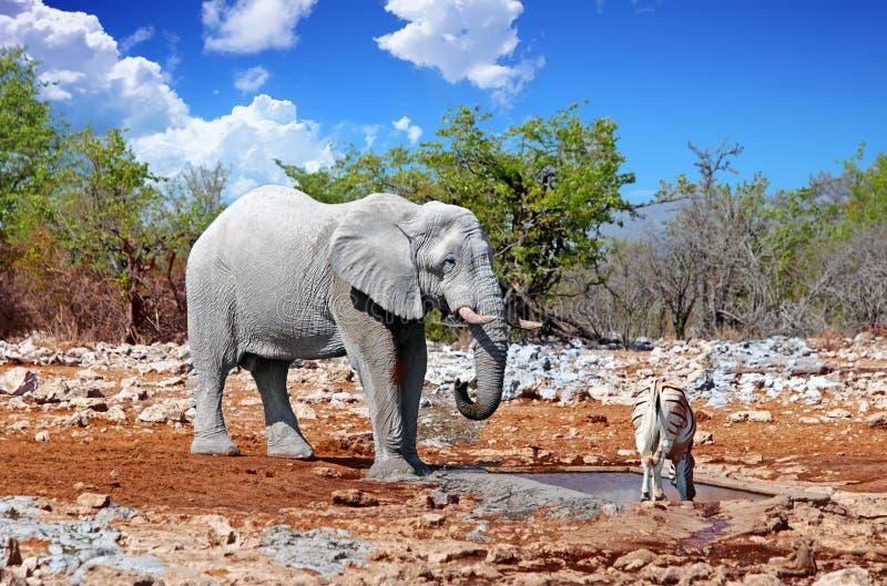 Wielki byka słoń i Pospolita zebra obok waterhole w Namibia obraz royalty free